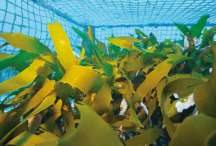 多機能型藻場増殖礁「K-hatリーフβ型」の中で繁茂する海藻(沈設後約2年)
