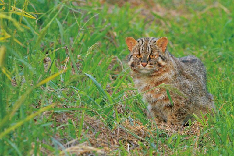 国内希少野⽣動植物種ツシマヤマネコ